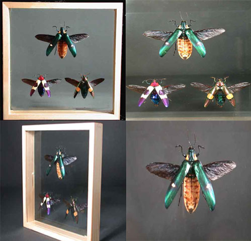 Exceptional Beetle Insect Specimens From Thailand