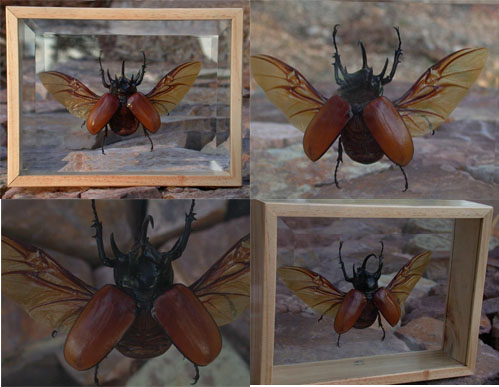 Huge Rhino Beetle In Beveled Glass Frame
