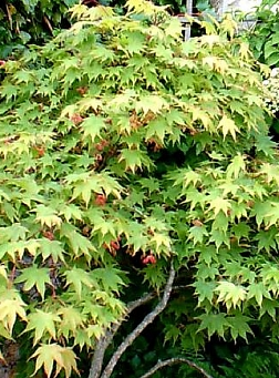 Japanese Maple  300  Seeds