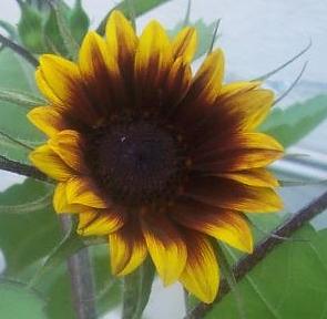 Florenza Sunflower