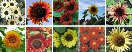 Sunflower  Tall Collection    10 Varieties  SAVE 55