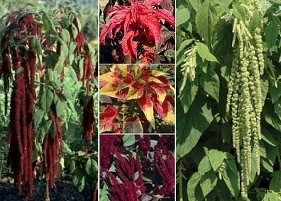 Amaranth Collection   5 Varieties  SAVE 50