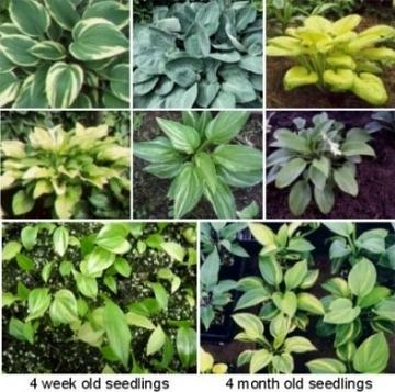 Hosta   Mixed Hybrid Varieties