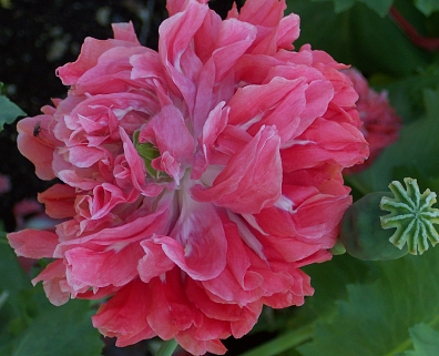 Poppy  Frosted Salmon   5 000  Seeds