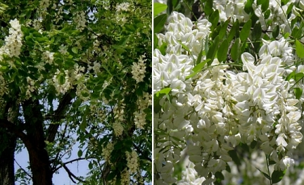Black Locust  500  Seeds