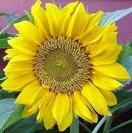 Pacino Gold Sunflower