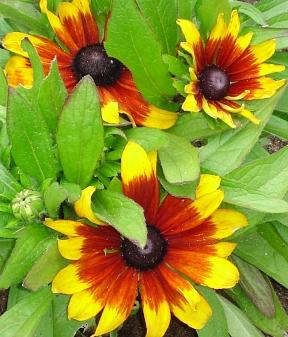 Rudbeckia  Becky Cinnamon Bicolor
