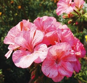 Geranium  Strawberry Ripple