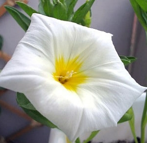 Convolvulus  White Ensign   500  Seeds