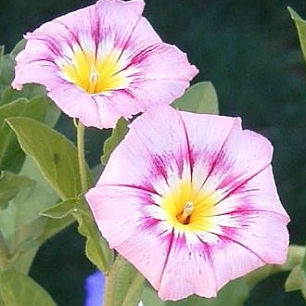 Convolvulus  Rose Ensign
