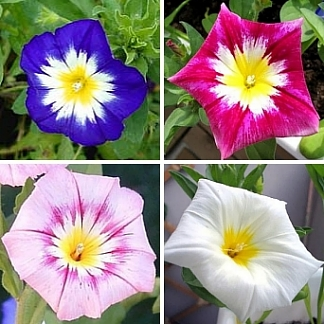 Convolvulus Ensign Collection   4 Varieties  SAVE 37