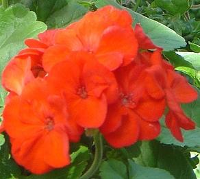 Geranium  Orange Appeal