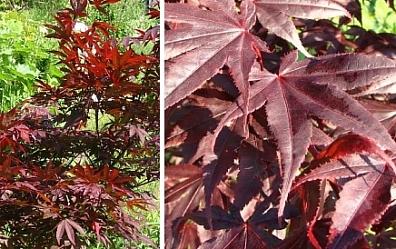 Japanese Maple  Bloodgood   100  Seeds