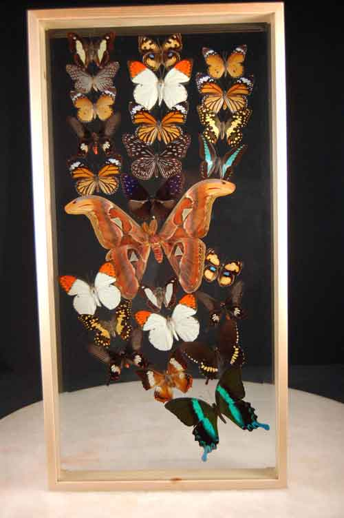 Giant Butterfly Collection 25 Insects In Beveled Double Glass