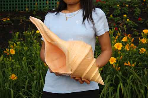 Image 0 of Seashell Syrinx aruanus Australian Trumpet Sea Shell 20 Inches