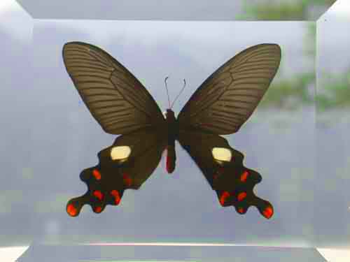 Sexy Black Butterfly Display Double Glass Framed