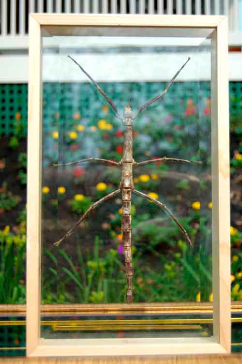 Image 0 of Huge Walking Stick Bug Framed Double Glass Insect