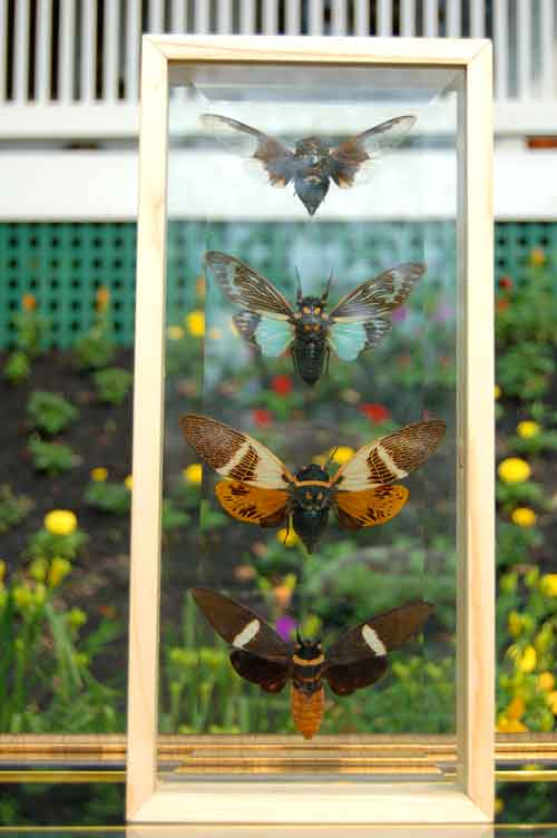 Giant Cicadas Insects w/ Wings Framed Double Glass