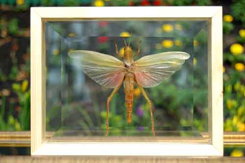 Grasshopper Giant Asian w/ Wings Framed Double Glass