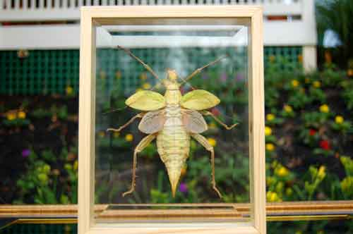 Image 0 of Giant Jungle Nymph Insect Bug Double Glass Wood Frame