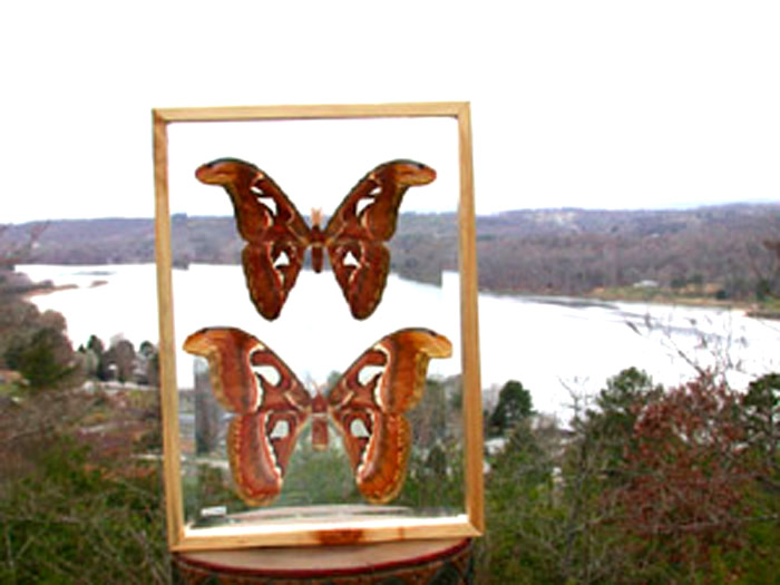 Giant Atlas Moth / Butterfly in Double Glass