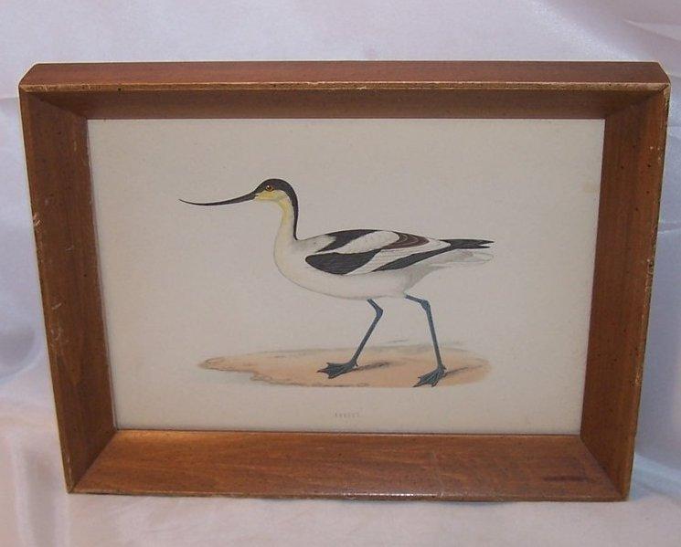 Avocet Bird, Original Lithograph, Morris, Victorius 1865