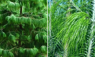 Mexican Weeping Pine  500  Seeds