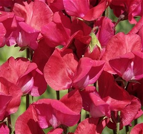 Sweet Pea  King Edward VII