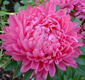 Aster  Milady Rose   500  Seeds