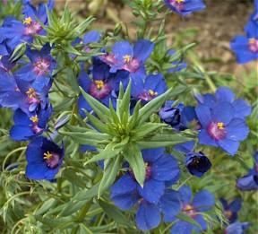Blue Pimpernel  2 000  Seeds