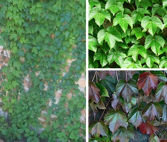 Boston Ivy  500  Seeds