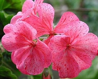 Geranium  Raspberry Ripple