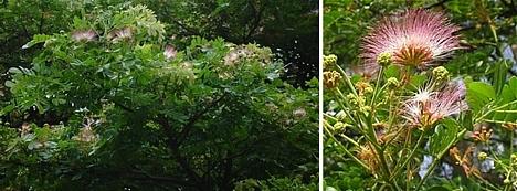 Monkeypod Tree    Rain Tree  300  Seeds