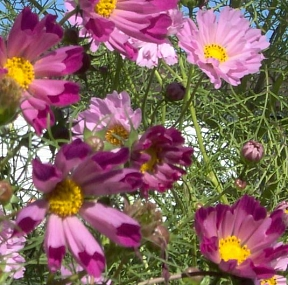Cosmos  Seashells Mix   500  Seeds