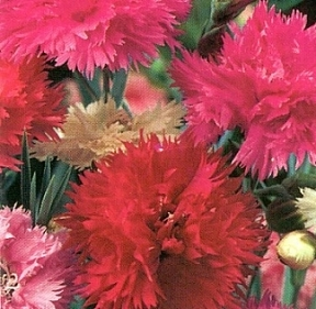 Dianthus  Double Gaiety Mix   2 000  Seeds