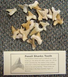 Sharks Teeth by the Pound