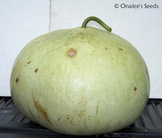 Bushel Basket Gourd Seeds -Large Hard Shelled Gourds!