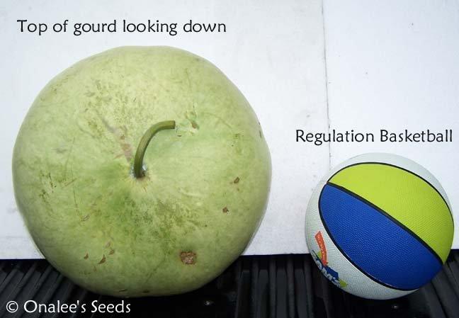 Image 1 of Bushel Basket Gourd Seeds -Large Hard Shelled Gourds!