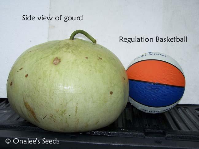 Image 2 of Bushel Basket Gourd Seeds -Large Hard Shelled Gourds!