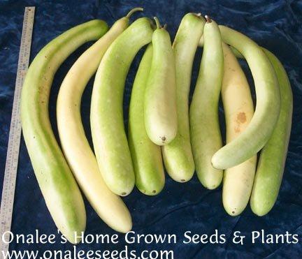 Image 2 of Cucuzzi (Lagenaria siceraria) Seeds / Italian Edible Gourd/Squash