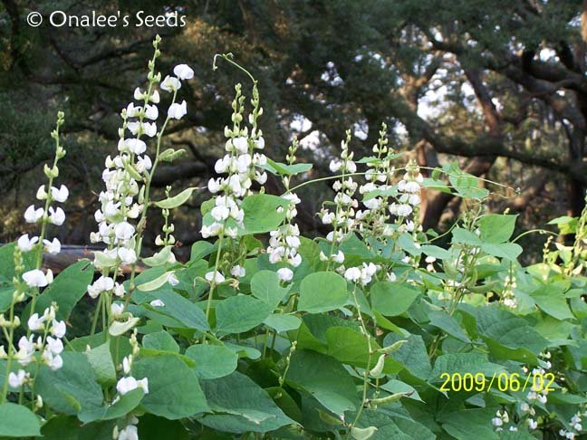 Image 1 of Hyacinth Bean Vine Seeds: WHITE Dolichos Lablab Alba, Lablab Purpureus. Heirloom