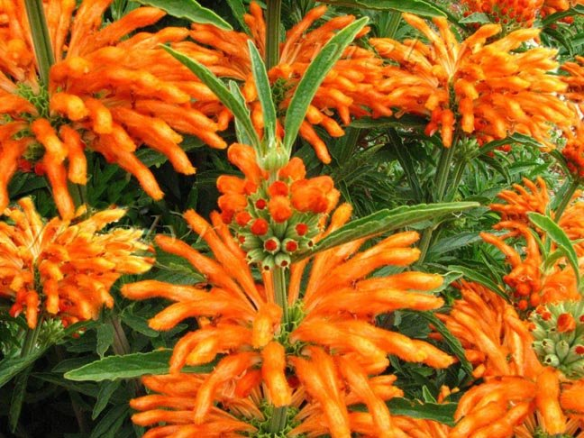 Image 1 of Lion's Ear (Leonotis nepetifolia), AKA: Devil's Pincushion, Seeds
