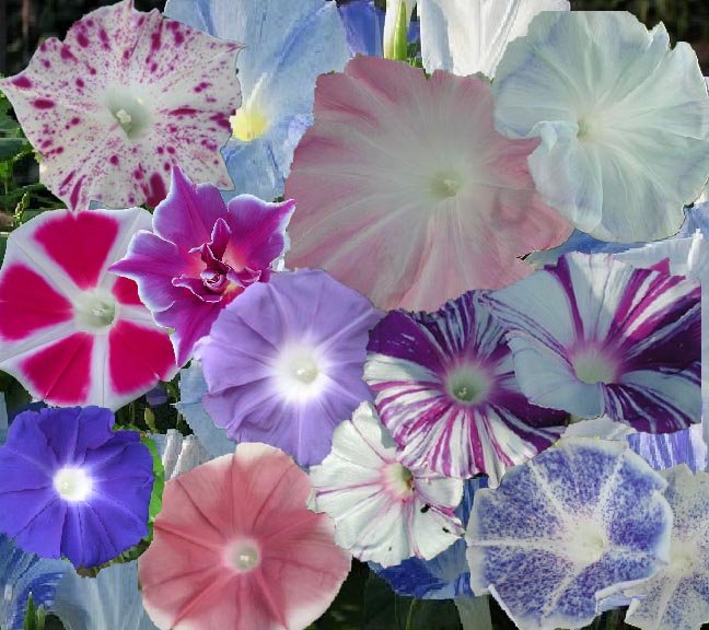 Japanese Morning Glory Seeds: Ao muraski zyouhanten shibori, Ipomoea Purpurea