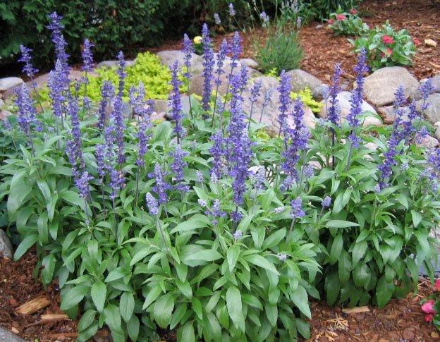 Image 1 of Salvia / Sage Seeds: Victoria Blue (Salvia farinacea) Beautiful Color, Easy Care