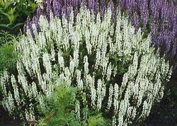Salvia / Sage Seeds: Victoria White (Salvia farinacea), Easy Care