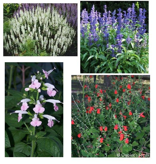 Salvia / Sage Seeds Collection: Blue, White, Pink and Red. 4 packs/price of 3!