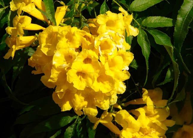 Image 1 of Yellow Elder, Tecoma Stans, Esperanza, Trumpetbush Seeds