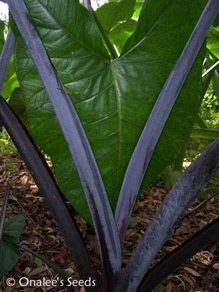 Image 0 of Elephant Ear:Blue Taro, Blue Tannia, Purple Stem, Xanthosoma violaceum