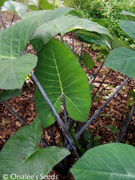 Image 2 of Elephant Ear:Blue Taro, Blue Tannia, Purple Stem, Xanthosoma violaceum