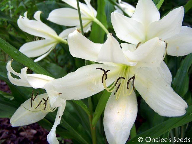 Crinum Lily: C. Jagus: St. Christopher Lily, Swamp Lily. White Blooming, Fragran